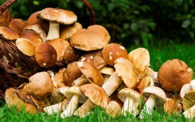 Des champignons pour soigner !